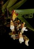 Cleisostoma subulatum, flowers 0.8 cm