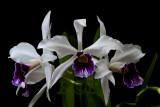 Cattleya purpurata, dark lip