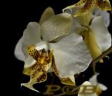 Phalaenopsis stuartiana, yellow
