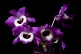 Dendrobium, form of nobile