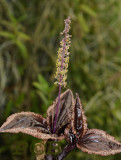 Malaxis calophylla, foliage ( terrestrial orchid )