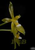 Phalaenopsis cornu-servi f. alba
