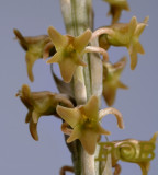 Malaxis sp. flowers 1 cm