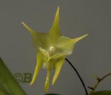 Aerananthes grandiflora, flower 2½ - 3 cm