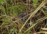 Gladde slang baby, Coronella austriaca