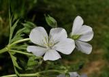 Beemdooievaarsbek, Geranium pratense alba