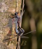 Paringswiel gevlekte witsnuit, Leucorrhinia pectoralis