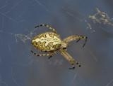 Eikenblad spin, Aculepeira ceropegia