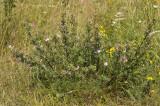 Kattendoorn, Ononis repens ssp. spinosa