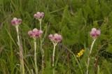 Rozenkransje vrouwelijke bloemen