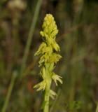 Honingorchis, Herminium monorchis, geel