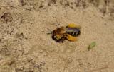 Pluimvoetbij, Dasypoda hirtipes, zandbijen