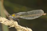 Calopteryx splendens vrouw