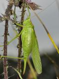 Grote groene sabelsprinkhaan vrouw, de sabel aan het achterlijf is de legboor