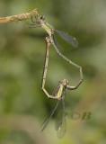 Houtpantser wiel, Chalcolestes viridis