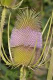 Grote kaardebol, Dipsacus fullonum