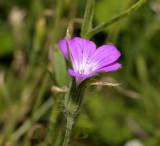 Bolderik, Agrostemma githago, zeer zeldzaam en sterk afgenomen
