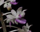 Aerides mitratum, flower 3 cm
