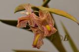 Dendrobium acinaciforme , Sulawesi  flower 1½  cm