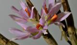 Pomatocalpa sp. flowers 3 cm