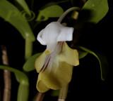Dendrobium uniflorum, flower 2½  cm