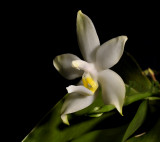 Phalaenopsis violacea 'alba'