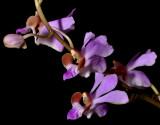Phalaenopsis pulcherrima, Thailand