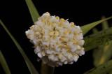 Agrostophyllum cyathiforme, one flower 4 mm