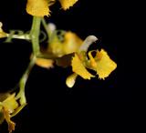 Zygostatus chateaubriandii, flower 4 mm