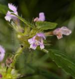 Zachte hennepnetel, Galeopsis pubescens