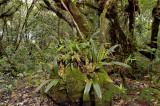 Lithocarpus truncatus forest at 1500 mtr,  Eria carinata