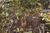 Bulbophyllum blepharistes and Dendrobium formosum plants on rock