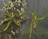 Cleisostoma birmanicum in cloudy forest habitat