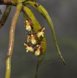 Cleisostoma birmanicum in cloudy forest