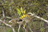 Coelogine nitida in habitat