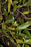 Coelogyne fimbriatum