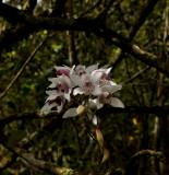 Cymbidium insigne ssp. insigne, blooming sept-okt.