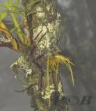 Dendrobium christyanum and oberonia brachystachys.