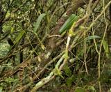 Bulbophyllum, Monomeria barbata, habitat loei province Thailand