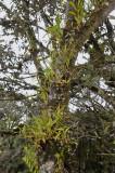 Orchidplants on Lithocarpus tree