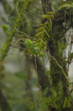 Pelatantheria insectifera in cloud forest
