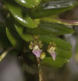 Pelatantheria insectifera in habitat