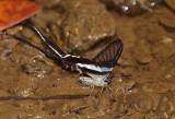 Dragontail, lamproptera curius