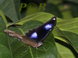 Hypolimnas misippus, male