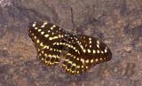 Lexias pardalis, female