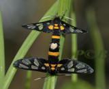 Amata fortunei (Arctiinae)