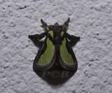 Parasa darma (Limacodidae)