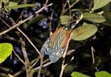 Campylotes histrionicus (Zygaenidae)
