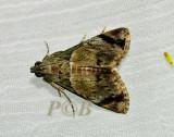 Epipaschiinae sp. undescribed  (Crambidae)
