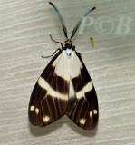 Corma sp. (Zygaenidae)